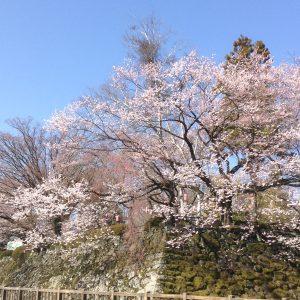 今年の桜🌸もキレイです